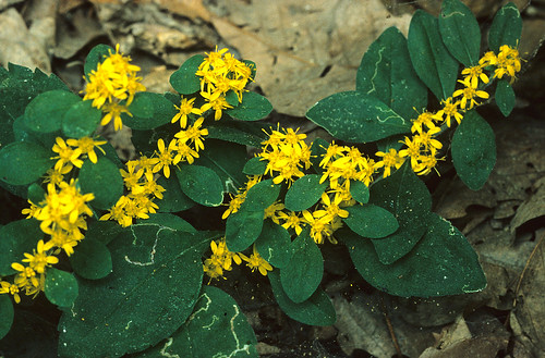 White-haired goldenrod | by USFWS/Southeast