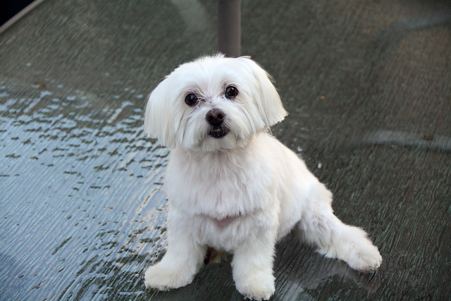 Picture Of Lucky The Maltese Dog Taken After Grooming. Picture Taken Sunday August 16, 2015