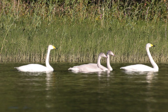 The swan-family.