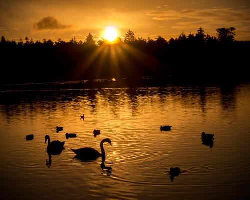 morning summer sun water sunshine birds silhouette sunrise canon landscape dawn swan warm ducks september northernireland sunburst fowl ulster hillsborough firstlight countydown wildfowl 70d sigma1770mm alanhopps
