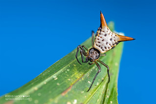 Thorn orb weaver (Micrathena sp.) - DSC_8821