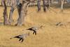 Secretary Birds Hunting by Hector16