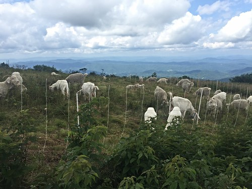 Goats on Roan Mountain