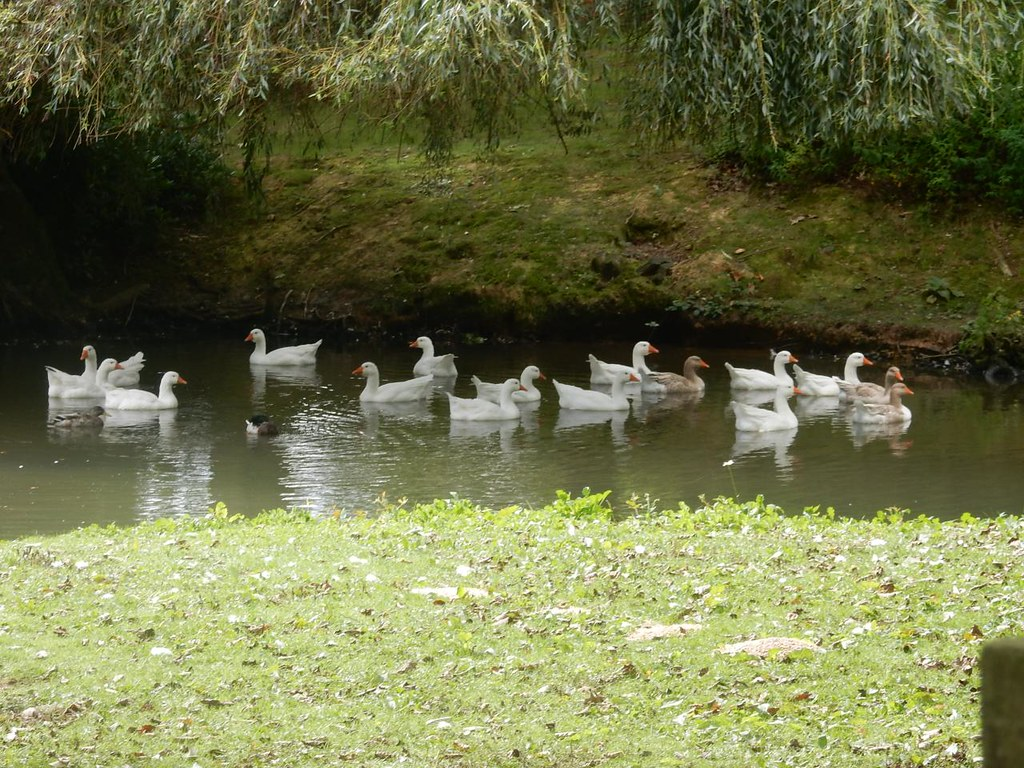 Geese Holmwood to Gomshall