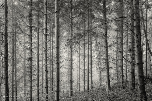 wood trees england bw mist monochrome woodland blackwhite branch unitedkingdom branches sony gb conifers a99 sonyalpha andyhough southoxfordshiredistrict slta99v littlewittenhamwood andyhoughphotography sonyzeiss2470f28zassm