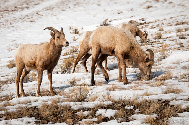 Female Big Horn Sheep