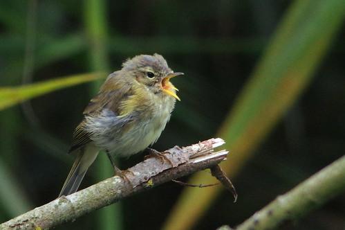 wild bird nature suffolk wildlife lakes reserve trust warbler chiffchaff lackford