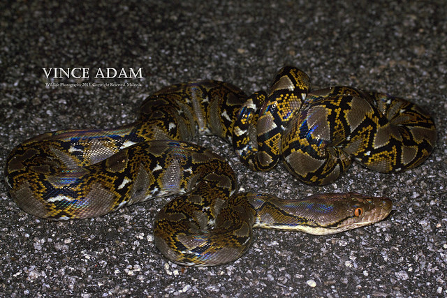 IMG_0562-1(W) Reticulated Python (Python reticulatus)