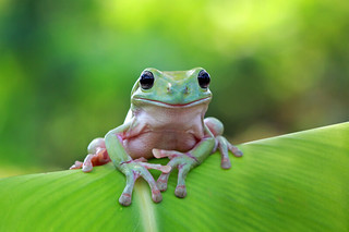 Dumpy White Tree Frog