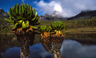 Giant Groundsels (Dendrosenecio keniodendron), Mount Kenya