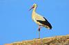 Cegonha-branca // White Stork (Ciconia ciconia subsp. ciconia) by Valter Jacinto | Portugal