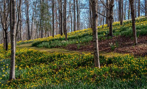 georgia ga gibbs garden spring flowers daffodils northgeorgia gibbsgardens