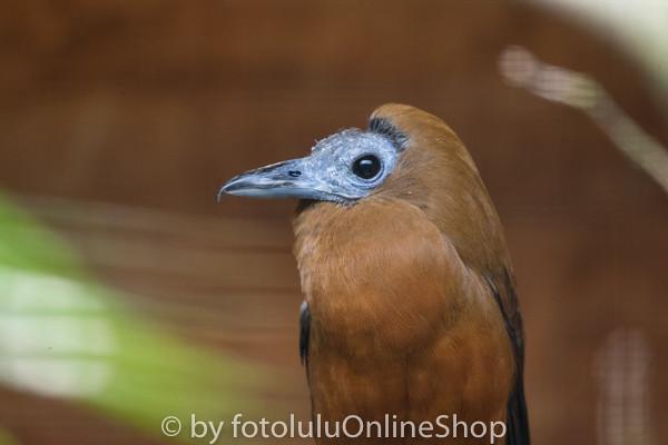 Kapuzinerkotinga_Perissocephalus tricolor-3