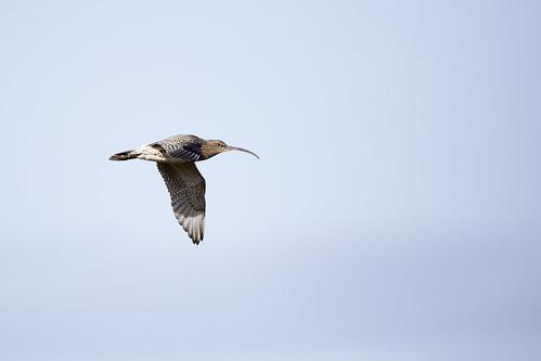 Curlew | by Chris_Moody