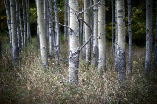 Door County Birch Trees