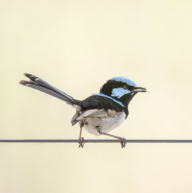 small bird series: another (hungry) ♂ superb fairy wren