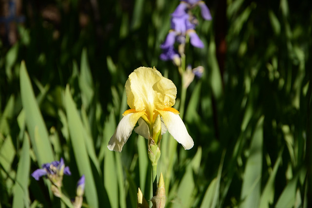 Floraisons 2016 de nos grands iris barbus et Bilan 32178456740_a23d19cd9f_z