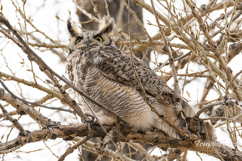 Male Great Horned Owl keeps close watch
