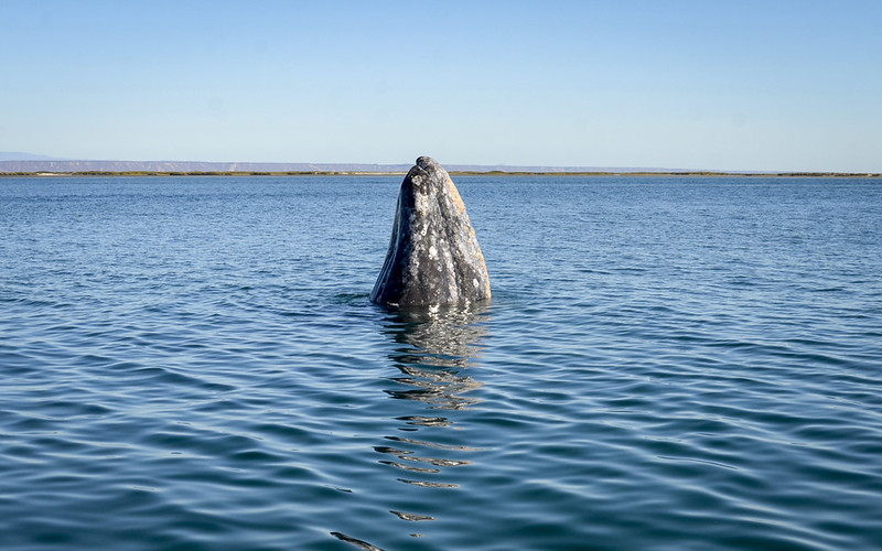 Peaking whale