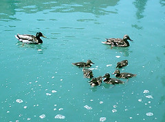 wee duckies
