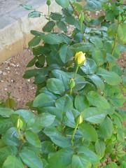 rosales