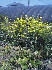 農家の庭に咲いてますが、笹出線沿いなんです