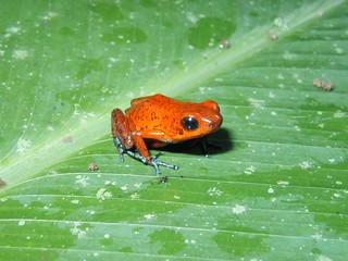 Strawberry Poison Dart Frog - Tortuguero, Costa Rica | by Charles & Clint