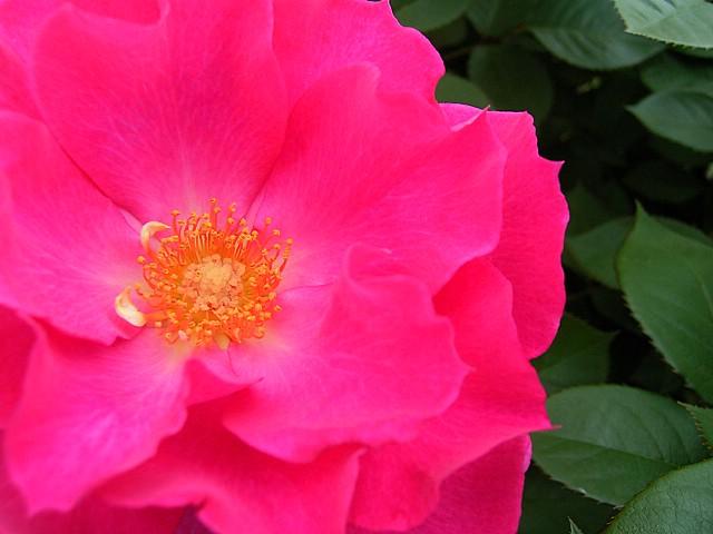 Rose:Neon-light69