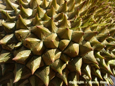 Durian03