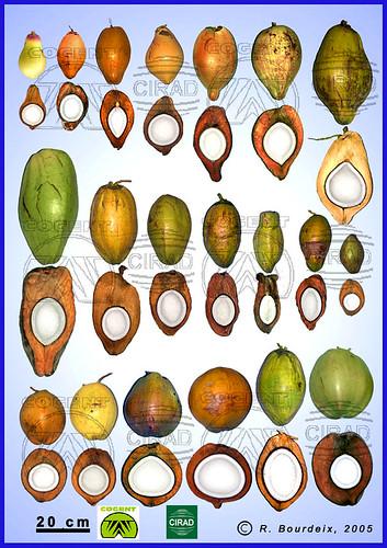 Coconut diversity