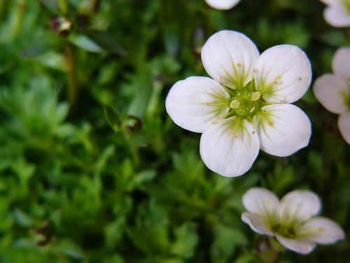 Saxifraga rosacea #6