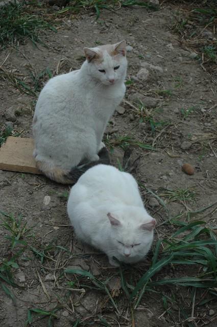 Milan - cats