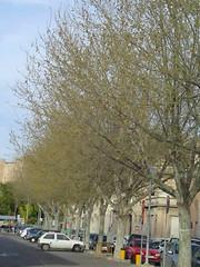 plataneros