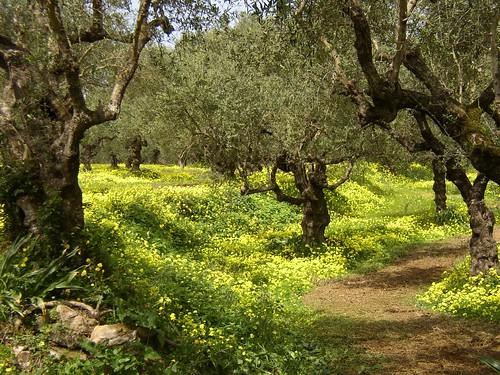 Spring Olive Grove, Zakynthos, Greece
