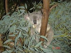 gratuitous koala shot