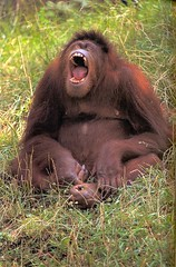 Orangutan-Sumatran-F