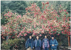 lijiang tree