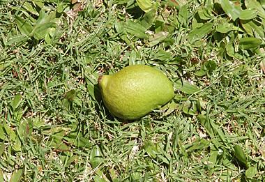 baby mango