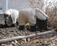 yard_sheep