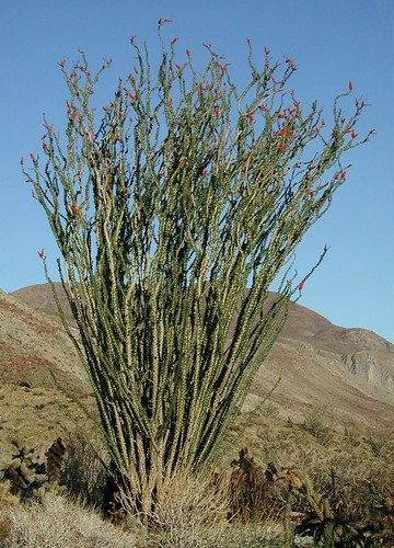 Ocotillo, 2003-04-01B 127 | by Anita363