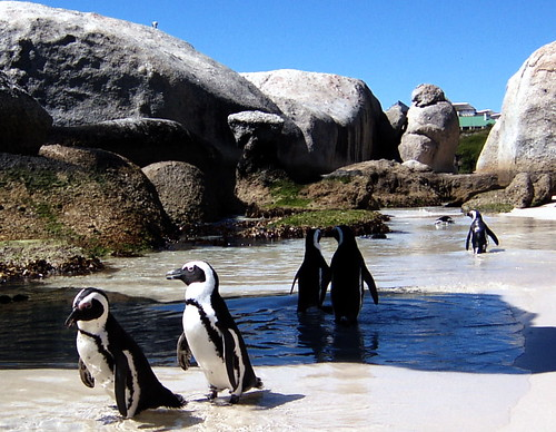 Penguins | by fanz