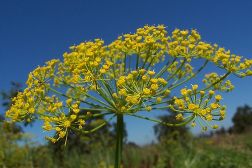dill flower   by ((brian))
