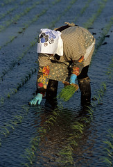 Woman Planting Rice   by kasei.co.uk