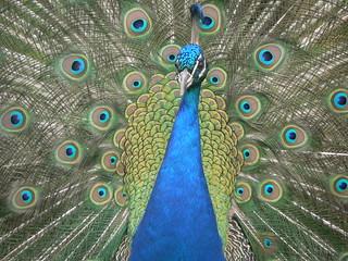 Peacock   by johnmuk