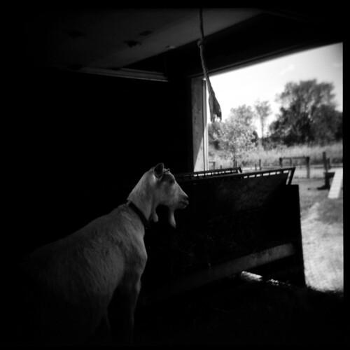 The Goat | by Ralph Krawczyk Jr