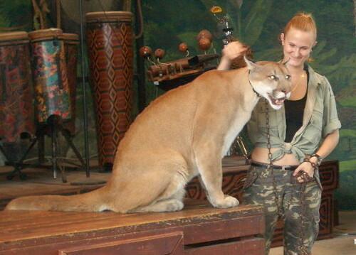 puma et cougar différence