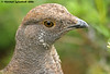 Sooty Grouse by Michael Woodruff