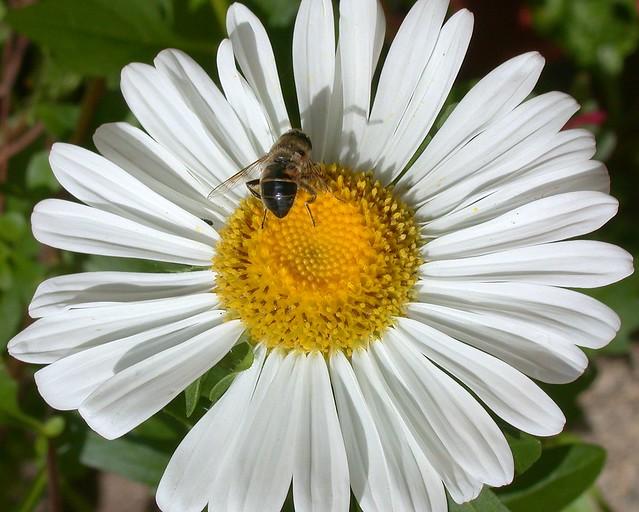 La margarita y la abeja