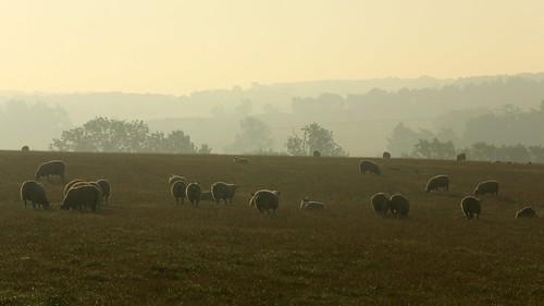 trees mist field sheep buckinghamshire september fields buckingham 2015