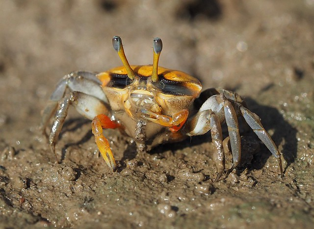 Possibly a Female Orange Clawed Fiddler Crab